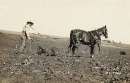 Photo:Rudolph Umland planting cane, Spring, 1924